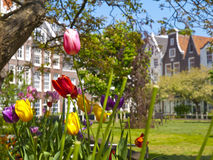 Tulips in the Begijnhof Court in Amsterdam Stock Photo