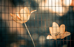 Tulips behind fence Stock Photography