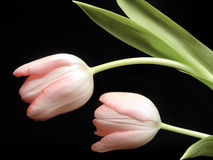 Tulips on Black. Beautiful pink spring tulips on a black background Royalty Free Stock Photo