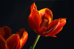 Tulips on black. Closeup of tulips on a black background Stock Images