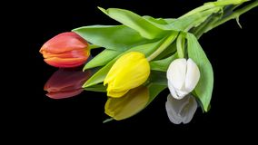 Tulips on black background, red, yellow, white royalty free stock image