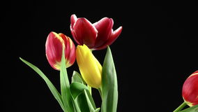 Tulips on Black Background stock video footage