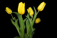 Tulips on a black background Royalty Free Stock Photography