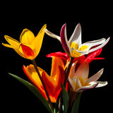 Tulips on black Royalty Free Stock Images