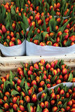 Tulips at the Bloemenmarkt (Flower Market) Amsterdam Royalty Free Stock Image