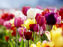 Tulips in bloom Stock Image