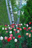 Tulips in bloom. A patch of tulips in wooded area Stock Photo