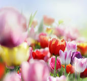 Tulips in bloom Stock Photo