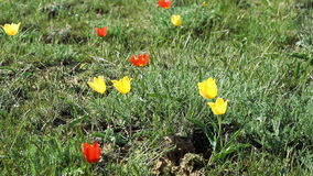 Tulips bloom in the desert. Colorful tulips bloom in the desert stock footage