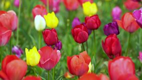 Tulips bloom in the garden. Colorful tulips bloom in the garden stock video footage
