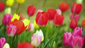 Tulips bloom in the garden. Colorful tulips bloom in the garden stock video