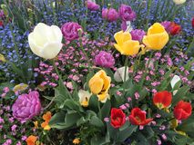 Tulips in bloom in Interlaken Royalty Free Stock Photo