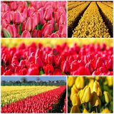 Tulips in Bloom Photo Collage Royalty Free Stock Photography