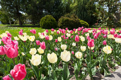 Tulips bloom in the springtime Royalty Free Stock Photo