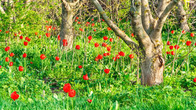 Tulips bloom in walnut garden. Flowering red tulips in an abandoned walnut garden stock image