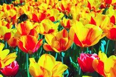Tulips bloom yellow Stock Image