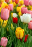 Tulips bloomed outdoor. Closeup of Tulip flowers bloomed outdoor Royalty Free Stock Photography
