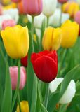 Tulips bloomed outdoor. Closeup of Tulip flowers bloomed outdoor Royalty Free Stock Images