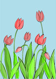 Tulips. Blooming tulips on a blue background Royalty Free Stock Images