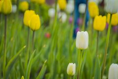 Tulips blooming in the flowerbed. Bright tulips blooming, spring flowers in the flowerbed, city streets decoration Stock Photography