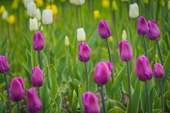 Tulips blooming in the flowerbed. Bright tulips blooming, spring flowers in the flowerbed, city streets decoration Stock Images