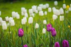 Tulips blooming in the flowerbed. Bright tulips blooming, spring flowers in the flowerbed, city streets decoration Stock Photos