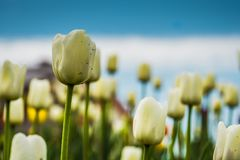 Tulips blooming in the flowerbed. Bright tulips blooming, spring flowers in the flowerbed, city streets decoration Royalty Free Stock Photo
