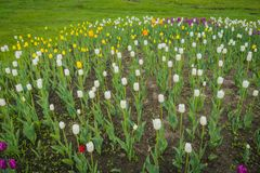 Tulips blooming in the flowerbed. Bright tulips blooming, spring flowers in the flowerbed, city streets decoration Royalty Free Stock Images