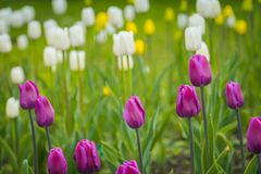 Tulips Blooming in the Flowerbed. Bright tulips blooming, spring flowers in the flowerbed, city streets decoration Royalty Free Stock Image