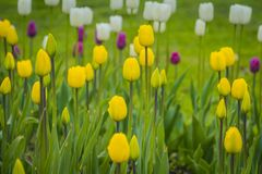 Tulips Blooming in the Flowerbed. Bright tulips blooming, spring flowers in the flowerbed, city streets decoration Royalty Free Stock Photography