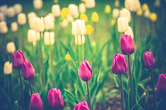 Tulips Blooming in the Flowerbed Retro. Bright tulips blooming, spring flowers in the flowerbed, city streets decoration, filtered Stock Images