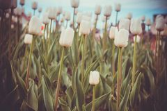 Tulips Blooming in the Flowerbed Retro. Bright tulips blooming, spring flowers in the flowerbed, city streets decoration, filtered Royalty Free Stock Photography