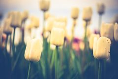 Tulips Blooming in the Flowerbed Retro. Bright tulips blooming, spring flowers in the flowerbed, city streets decoration, filtered Stock Image
