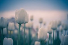 Tulips Blooming in the Flowerbed Retro. Bright tulips blooming, spring flowers in the flowerbed, city streets decoration, filtered Royalty Free Stock Image