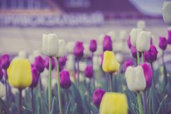 Tulips Blooming in the Flowerbed Retro. Bright tulips blooming, spring flowers in the flowerbed, city streets decoration, filtered Stock Photos