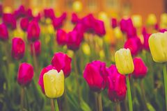 Tulips Blooming in the Flowerbed Retro. Bright tulips blooming, spring flowers in the flowerbed, city streets decoration, filtered Royalty Free Stock Photo