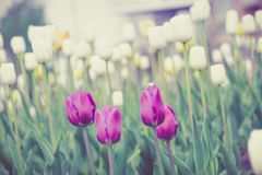 Tulips Blooming in the Flowerbed Retro. Bright tulips blooming, spring flowers in the flowerbed, city streets decoration, filtered Royalty Free Stock Photos