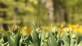 Tulips. Blooming tulips on the flowerbed in the spring park stock video footage