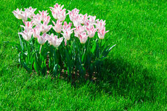 Tulips blooming flowers field, green grass lawn in beautiful spr Stock Photos
