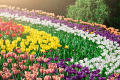 Tulips blooming flowers field, green grass lawn in beautiful spr Stock Image