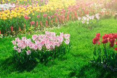 Tulips blooming flowers field, green grass lawn in beautiful spr Stock Images
