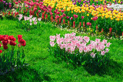 Tulips blooming flowers field, green grass lawn in beautiful spr Stock Photography