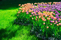 Tulips blooming flowers field, green grass lawn in beautiful spr Royalty Free Stock Images