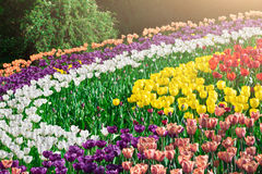 Tulips blooming flowers field, green grass lawn in beautiful spring garden. In the backlight warm sunbeam light. Springtime concep Stock Photos