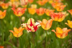 Tulips blooming in a garden in botany park in early spring stock image