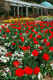 Tulips Blooming Stock Image