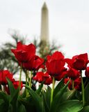 Tulips are blooming in national mall area. Washington monument at background on a cloudy day royalty free stock images