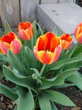 Tulips blooming. Orange and yellow tulips blooming in spring Royalty Free Stock Images