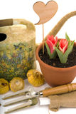 Tulips blooming in a pot with flowers gladiolus bulbs Stock Photography