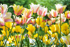 Tulips blooming Royalty Free Stock Images